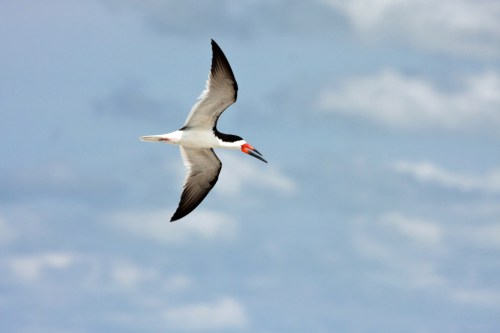 Black Skimmer PS 2014-07-06 15.55.13-1