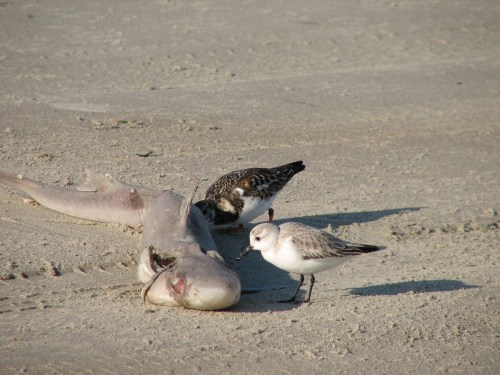 Ruddy Turnstone & Sanderling Feeding on Shark