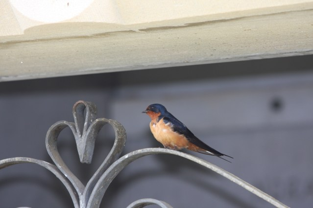 Barn Swallow IMG_6854