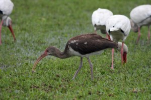 Immature American White Ibis. Photo by P. Vankevic