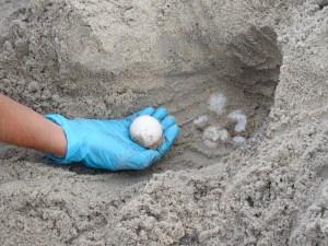 Sea turtle eggs.