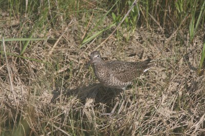 Willet in breeding plumage on Ocracoke.