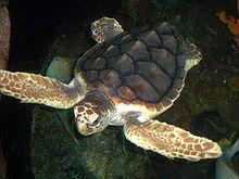 Loggerhead sea turtle. Photo courtesy of Wikipedia