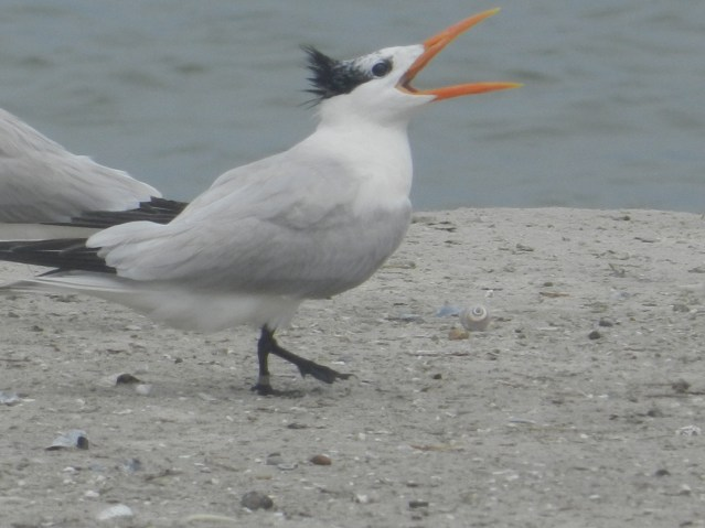 Royal tern. Photo by P. Vankevich
