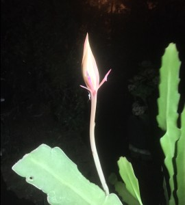 The night-blooming cereus bud. Jude Wheeler knows by the look of the bud when it will bloom.