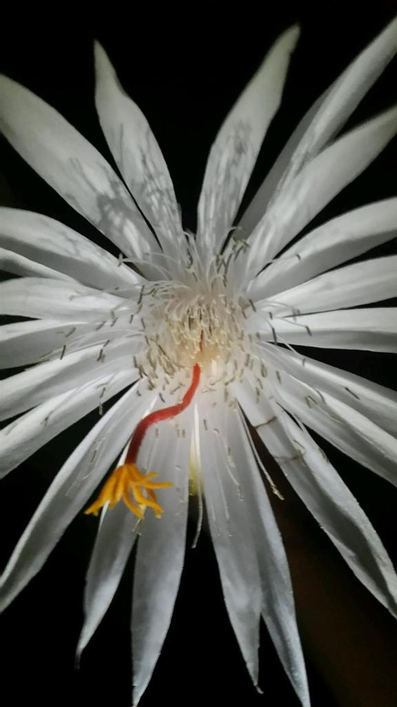 A single flower from the night-blooming cereus, or Queen of the Night. Photo by Chaeli Moyer.