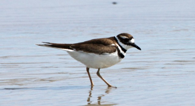 Killdeer PS crop IMG_5030