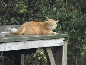 If you see feral tom cats like this, please notate it on the sign-up sheet in the post office.