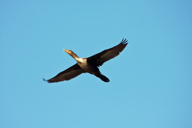 Double Crested Cormorant in flight PS IMG_6071