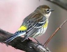 myrtle warbler 2012-03-28 20.55.28-7