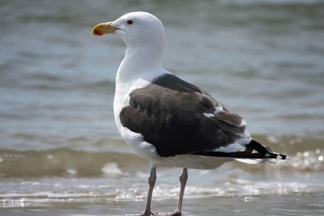Great Black backed Gull PS IMG_4996