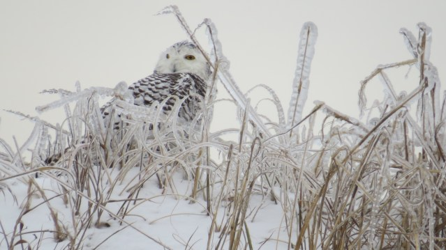 Snowy Owl on Ocracoke. Photo by P. Vankevich