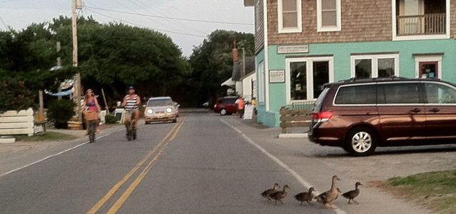 Mallard ducks share the road in the village.