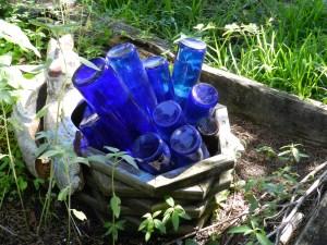 A blue bottle 'bush' in Cindy Fiore's garden.