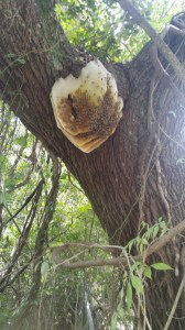 A feral bee hive in the village. Photo: P. Vankevich