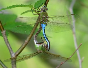 'Green Darner' dragonflies mating. Female's legs are wrapped around the male's abdomen. Most common migratory species.