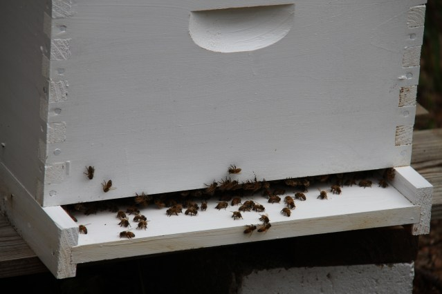 Ocracoke bees in one of Deans and Styrons hives. . Photo: P. Vankevich