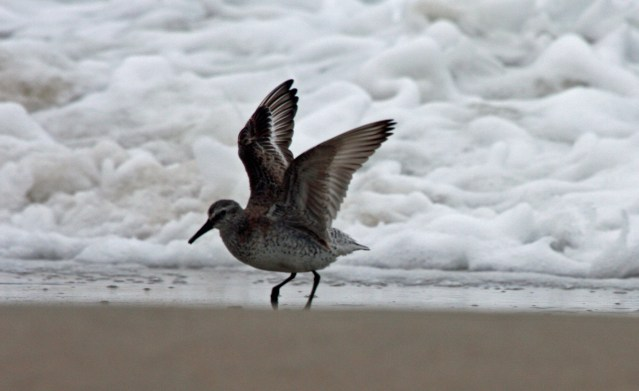Red knot. Photo: P. Vankevich