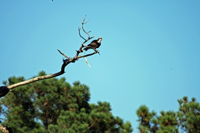 Osprey at Lale Mattamuskeet. Photo by P. Vankevich