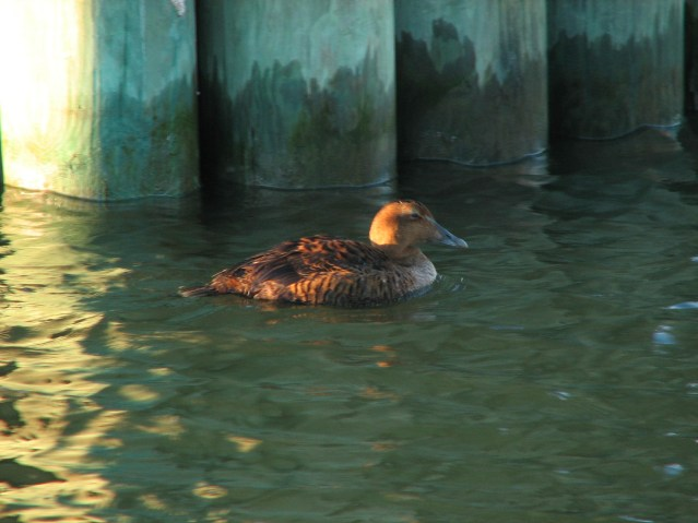 Female Common Eider photographed in Silver Lake harbor on Ocracoke