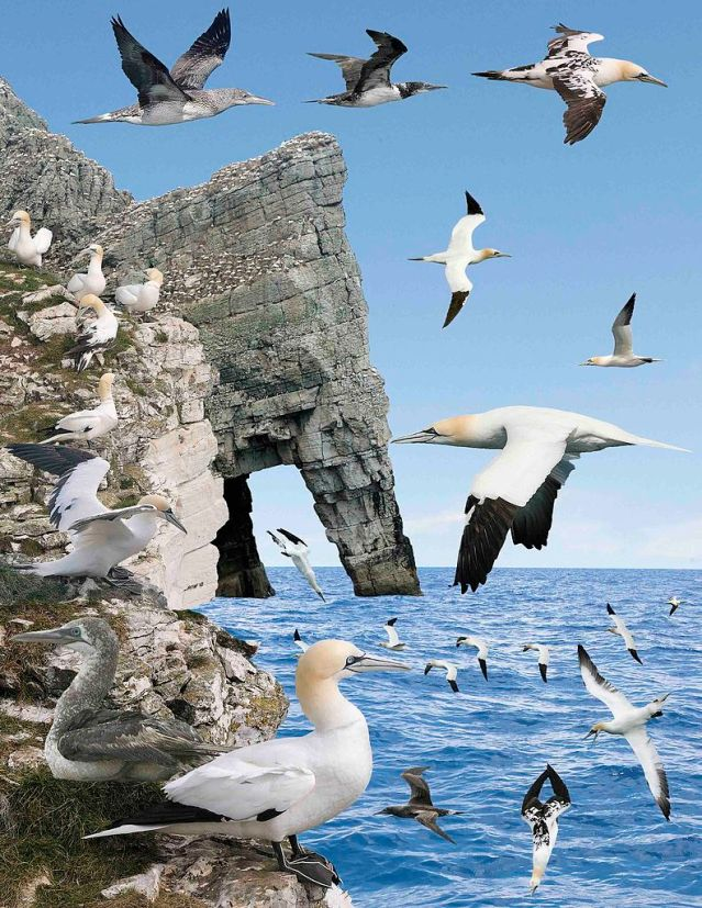 Norther Gannets from the 'The Crossley ID Guide, Britain and Ireland': Richard Crossley and Dominic. Photo courtesy of Commons Wikipedia