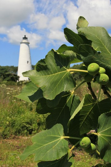 Ocracoke figs and the island's famous lighthouse. Photo by Trudy Austin