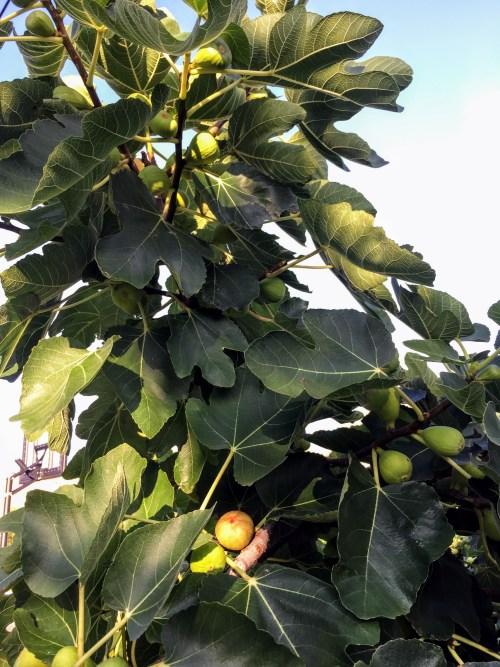 Ocracoke figs along Lighthouse Road, Ocracoke, NC. Photo: C. Leinbach