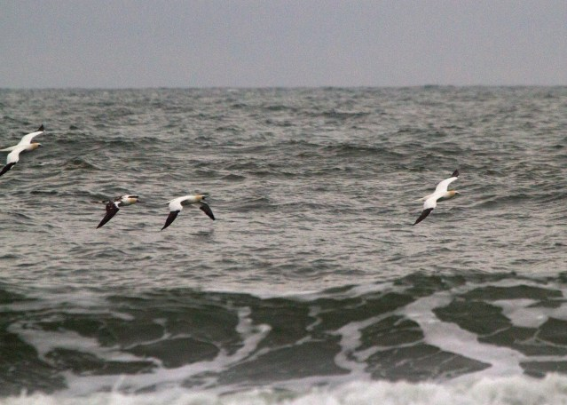 North Gannets wintering off Ocracoke Island. Photo: P. Vankevich