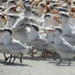 Young terns Big Foot 7-5-18