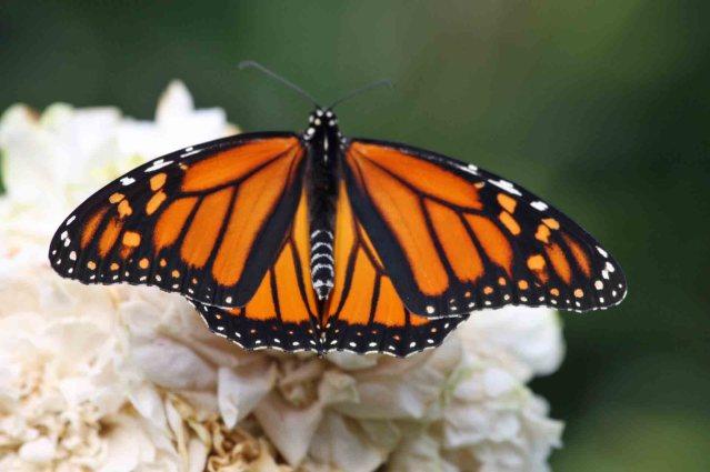 Monarch butterfly on Ocracoke, N.C.. Photo: P. Vankevich