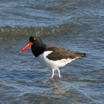 oyster catcher water ps 5865