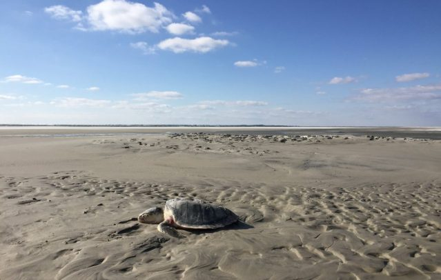 A sea turtle on the Southpoint beach, Ocracoke, NC, falls victim to the frigid January cold. Photo: C. Leinbach