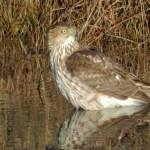 Cooper's Hawk in NC 12 water DSCN9721