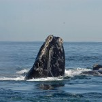 North_Atlantic_right_whale wiki commons