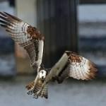 Osprey-Halb_DSC0427