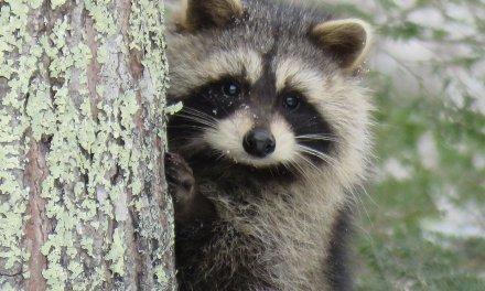 Feedback on Raccoon Beating