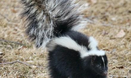PINE BEACH: DOA Skunk