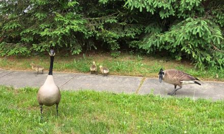 LAKEWOOD: Goose Egg Story Update!