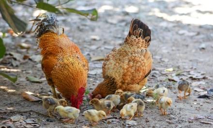 BEACHWOOD: Chickens in Distress