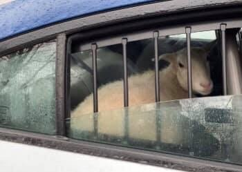 TOMS RIVER: Sheep in Custody!