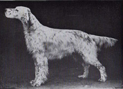 Ch Desire of Maridor- Rummey Stagboro x Lakelands Nymph. Ryman owned four of this female's siblings. A particularly important breeding in the history of the show dogs.