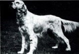 Am/Eng Ch Pennine Patron- An Influential show dog behind several Rymans used in the 1930's.