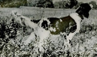 Ch Riley Frush- In the pedigrees of most field trial, and many show dogs. Close to Ryman's Grouse Fox and others through Governor Penn.