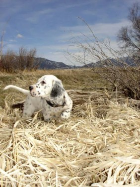 """""""Boone"""" sight-pointing a Goose at 8 weeks"""