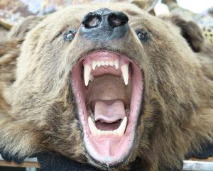 bear teeth