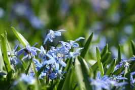 Along with snow drops, Scilla is a sure sign the winter is over.