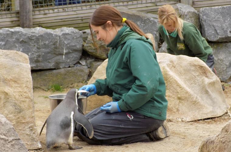 Folly Farm - Feeding time Penguins