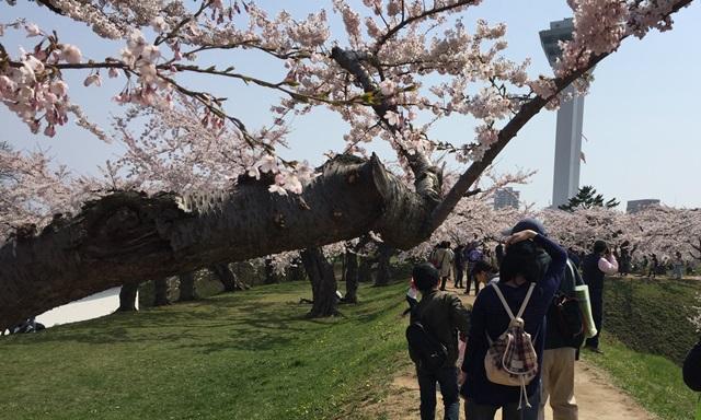 五稜郭 桜 混雑