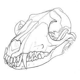 Red fox skull