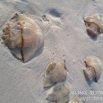 Faixa de areia em praia do Pontal amanhece tomada por águas-vivas